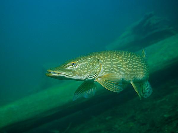 Nährwerte des folgenden Fisches: Europäischer Hecht (Esox